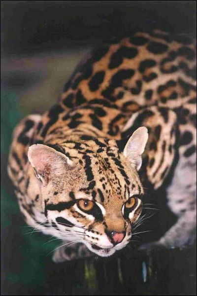 Ce chat sauvage est le troisième plus grand félin du continent américain. Il est à l'aise dans les différents milieux naturels. Quel est son nom ?