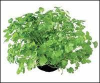 Cette plante aromatique surnommée également  persil arabe  et/ou  persil de Chine  est en réalité :