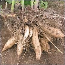 D'où est originaire la plante appelée poire de terre ?