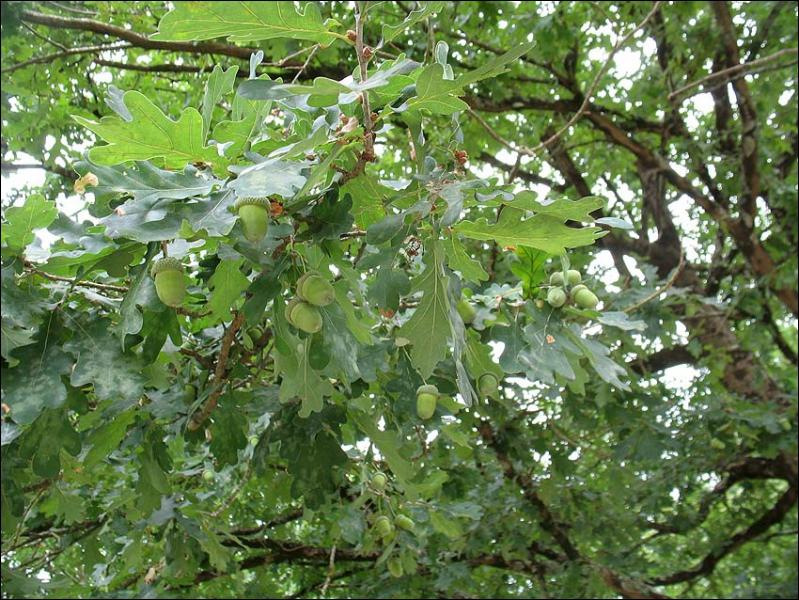 Quel est cet arbre ? (cliquez sur l'image pour mieux voir)