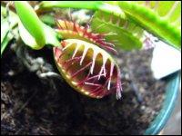 Plante carnivore de la famille des Droseraceae, elle est sans doute la plus connue et la plus emblématique. On la retrouve souvent dans les jeux vidéo et dans les dessins animés. Il s'agit de...