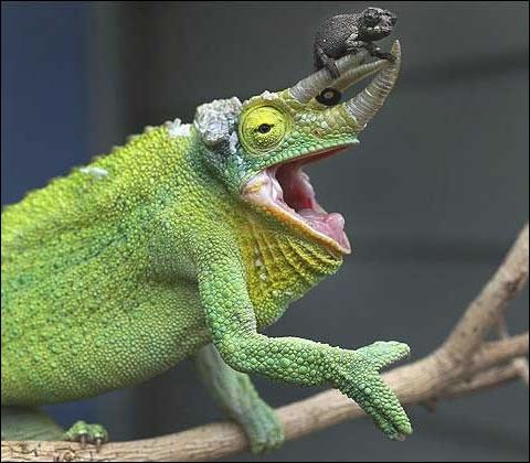Cet animal peut changer de couleur :