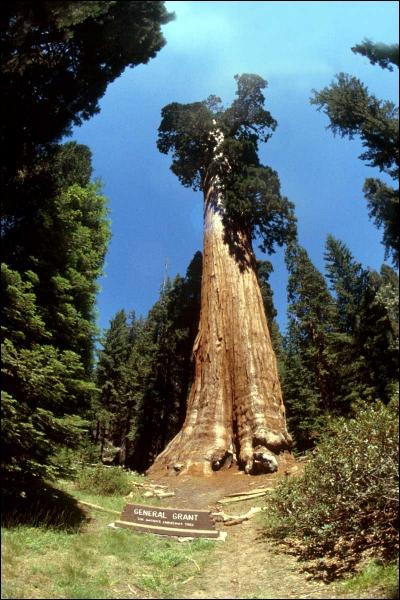 Quel est cet arbre réputé pour être l'espèce vivante la plus grande et qui se retrouve exclusivement sur la côte ouest des États-Unis ?