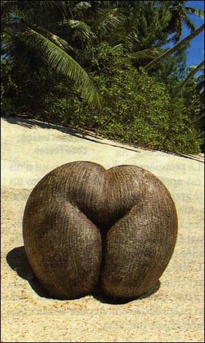 Où se trouve ce cocotier qui donne ce fruit si bizarre, appelé également coco-fesse ?