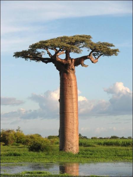 Quel est cet arbre africain qui bat tous les records de circonférence ?