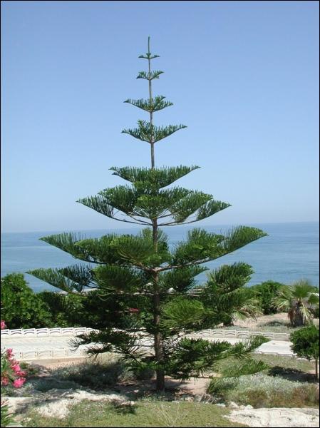 Quel est cet arbre dont l'espèce nominale est originaire du Chili et qui est très utilisé en jardinerie et surnommé  le désespoir des singes  ?