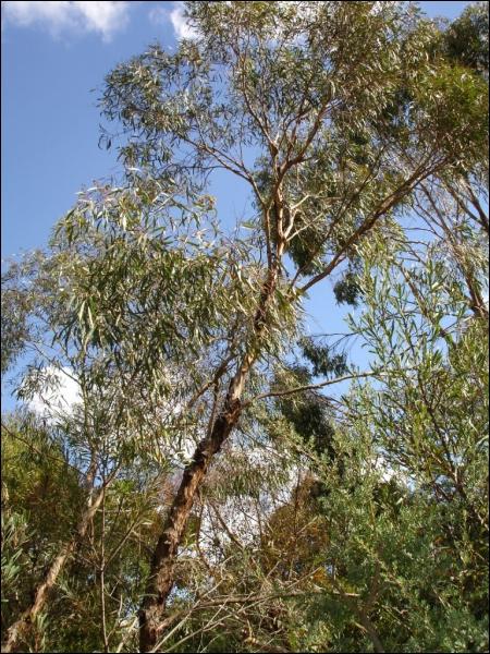 Cet arbre australien, fréquent sous nos latitudes, est très utilisé en pharmacologie :