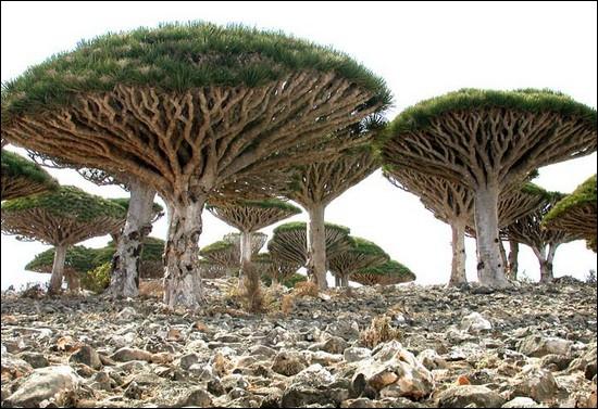 Cet arbre originaire des Canaries, de Socotra et du Maroc sécrète une sève de couleur rouge appelée  sang de dragon , utilisée autrefois en médecine et en teinturerie :