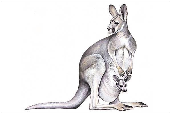 Qui est cet animal ? Le petit se développe à l'abri dans la poche de sa mère, c'est :