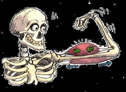 Les muscles sont généralement reliés aux os par :