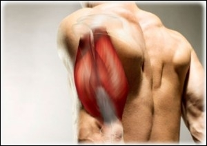Comment se nomme ce groupe musculaire ?