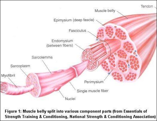 Comment se nomme la science qui étudie les muscles ?