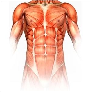 De combien de muscles le corps humain est-il constitué ?