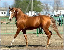 Est-ce un barbe en tenant compte que la race de ce cheval présente plusieurs défauts de conformation !
