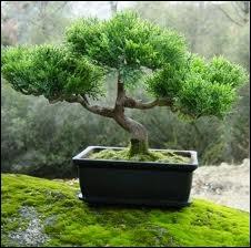 L'art du bonsaï a été importé de Chine par les religieux bouddhistes zen. Les plus vieux peuvent atteindre 600 ans. Que signifie le terme Bonsaï ?