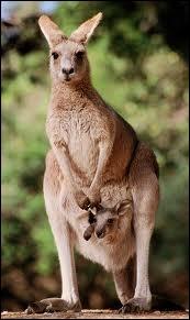 Il y a plus de kangourous en Australie que d'australiens. Surnommé Old man, en raison de sa gestuelle presqu'humaine, il peut atteindre 2, 50 m de haut et 70 kg. Quelle est leur vitesse de fuite ?