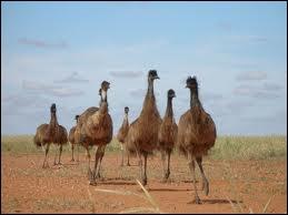 Autre exemple de la faune australienne, l'oiseau de 2 mètres de haut qu'est l'émeu. Cet oiseau ne vole pas mais court aussi vite que... ?