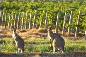 On disait de la gastronomie australienne, c'est  la copie sauvage de la cuisine anglaise avec de la poussière en plus . L'Australie c'est la bière, excellente, mais aussi le vin, qu'on surnomme... ?