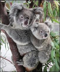 Autre animal symbolique de l'Australie, le koala, qui est aussi un marsupial, et non un ours, avec lequel les 1er colons l'ont confondu. Pourquoi mange-t-il avec précaution ?