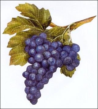 Quelle est la traduction lituanienne de  raisin  ?