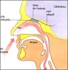 Complétez :  L'air inspiré rentre par les fosses nasales passe par ... , puis par ... , arrive dans ... , qui se divise en deux bronches. Celles-ci se ramifient et forment ... qui se terminent par ...