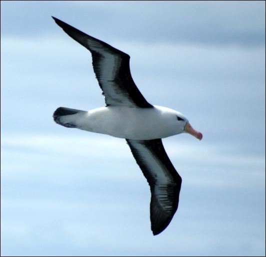 Quel oiseau a les plus grandes ailes ?