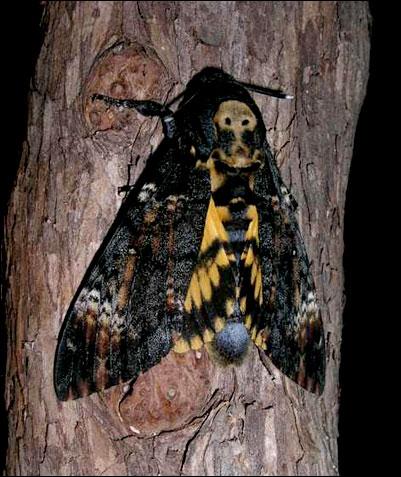 Ce papillon est un sphingidé. C'est le seul papillon au monde capable d'émettre un cri, qui ressemble à celui de la souris. Quel est son nom ?