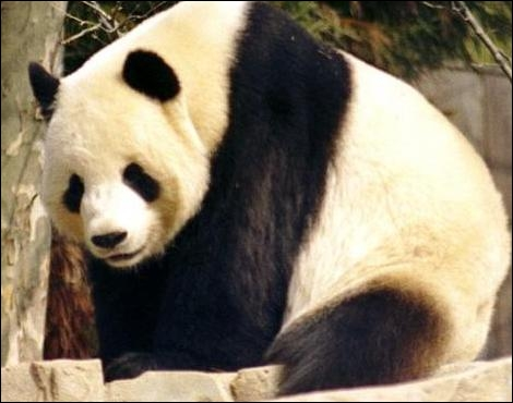 Le panda est aussi en danger dans son pays d'origine !
