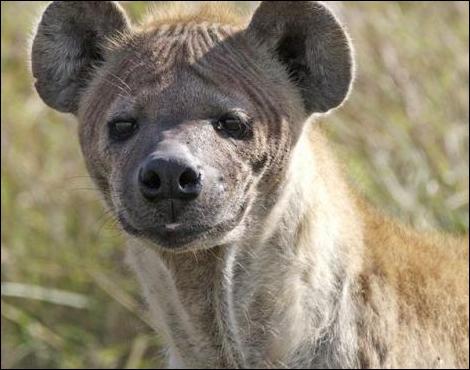 Comment s'appelle ce prédateur africain ?