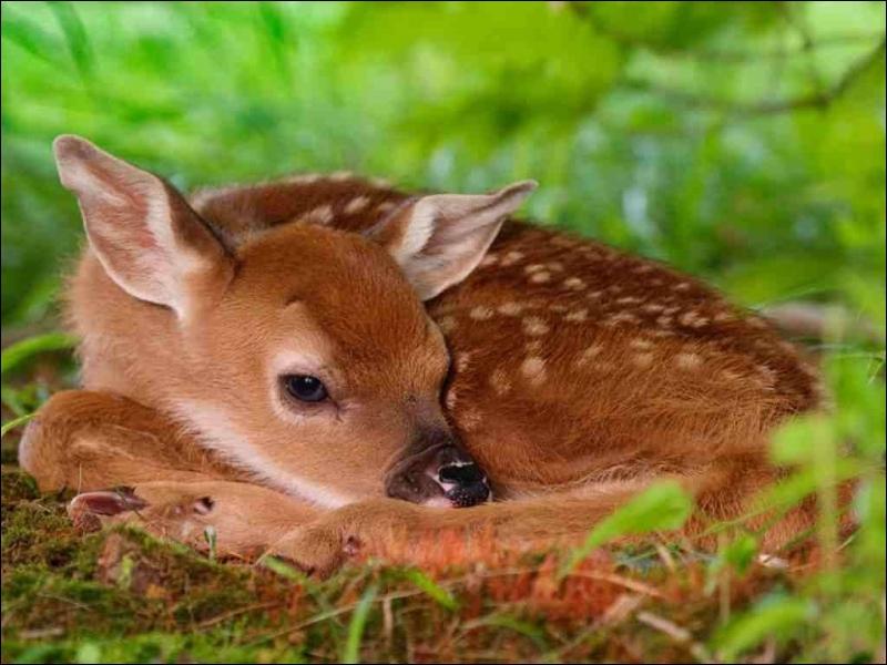 C'est le bébé de la biche et du cerf, comment s'appelle-t-il ?