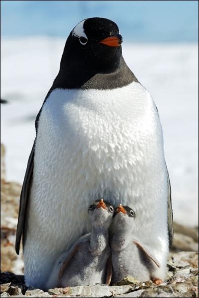 Cet oiseau s'appelle le pingouin !