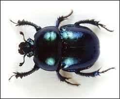 Quel est le mot anglais pour  scarabée  ?