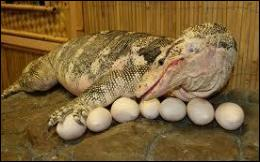 Combien de bébés lézards sortiront-ils de ses oeufs ?