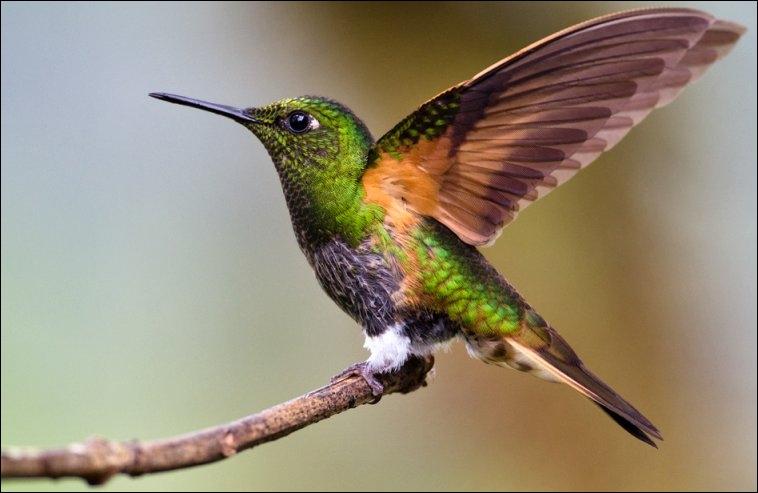 Le colibri ou oiseau mouche est le plus petit des oiseaux. Il est le seul oiseau capable de :