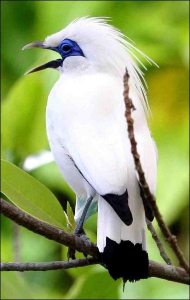 Ce passereau de l'ile indonésienne de Bali est parmi les oiseaux les plus rares, Quel est son nom ?