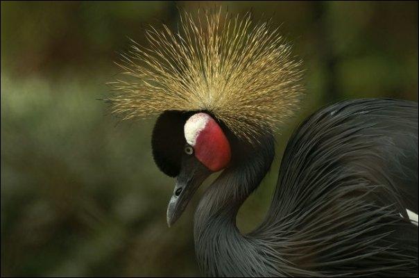 De quelle espèce de grue est ce joli oiseau coloré ?