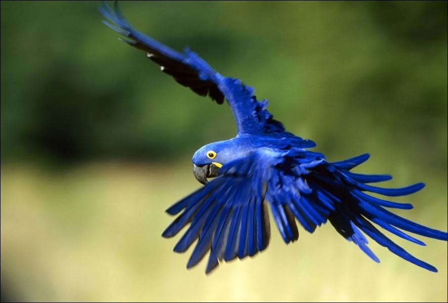 Quel est cet oiseau magnifique d'Amazonie ?