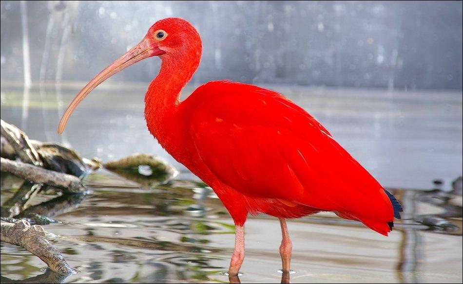 Quel est le nom de cet oiseau d'Amérique centrale, du Sud et des Caraïbes ?