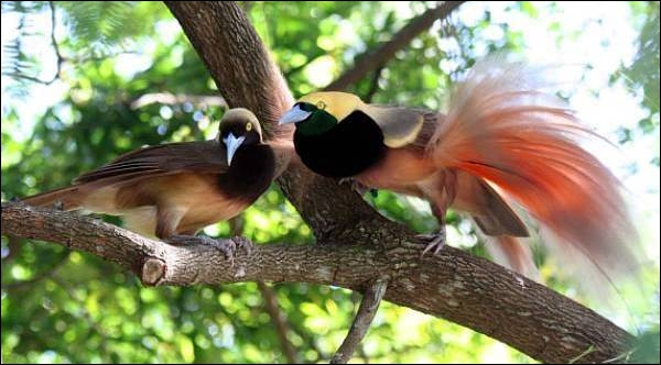 Ce célèbre oiseau est un habitant endémique de la Papouasie-Nouvelle-Guinée et comporte plusieurs espèces toutes plus belles les unes que les autres. Qui est-ce ?