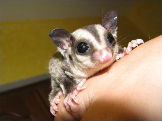On trouve plusieurs espèces de cet animal, en Australie, Tasmanie et Nouvelle-Guinée, il a une particularité unique en commun avec un lézard et un serpent !