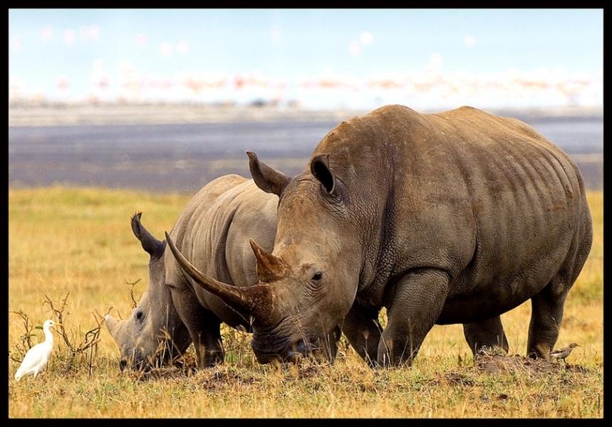 Cet oiseau blanc a l'habitude de se percher sur les rhinocéros (entre autres), comment l'appelle-t-on ?