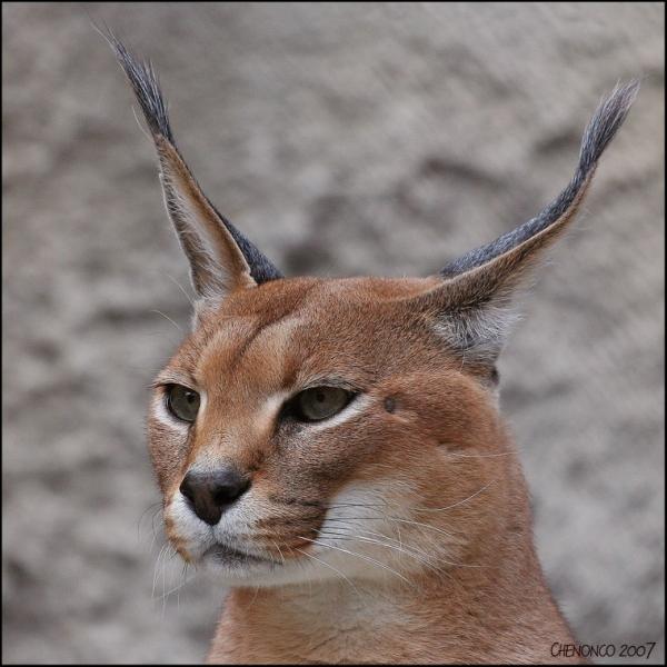 Il ressemble à un lynx croisé avec un puma, lui aussi vit en Afrique !