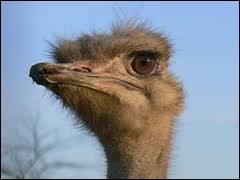 Chez l'autruche, quelle partie est la plus grosse entre son oeil et son cerveau ?