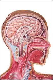 Cartilage de forme ovale placé à la partie supérieure du larynx, derrière la base de la langue, c'est :