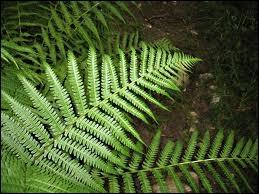 Ce feuillage, que l'on trouve surtout en forêt, est l'homonyme d'une ville bretonne, dans le département ...