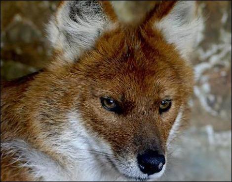 Dernière question pour vous départager, regardez-bien cet animal qui chasse en meute, et donnez le bon chiffre !