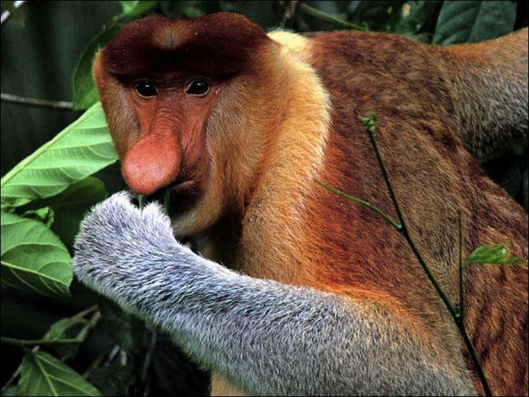 Ce singe s'appelle le nasal !