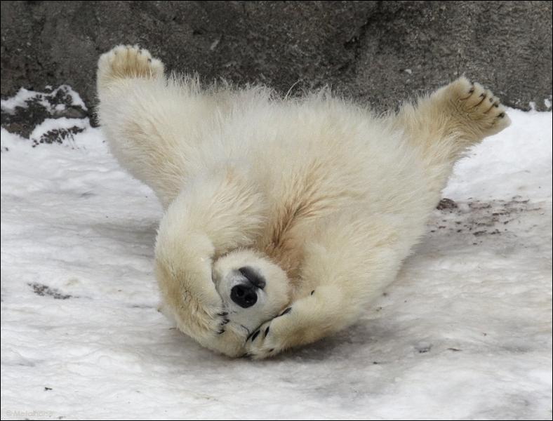 La peau de l'ours blanc est noire !