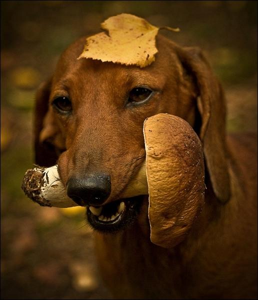 Ce teckel tient dans sa gueule un champignon de Paris !