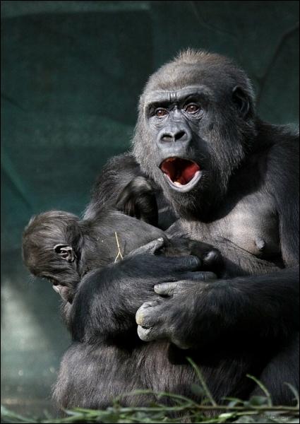 C'est beau une mère chimpanzé et son bébé !
